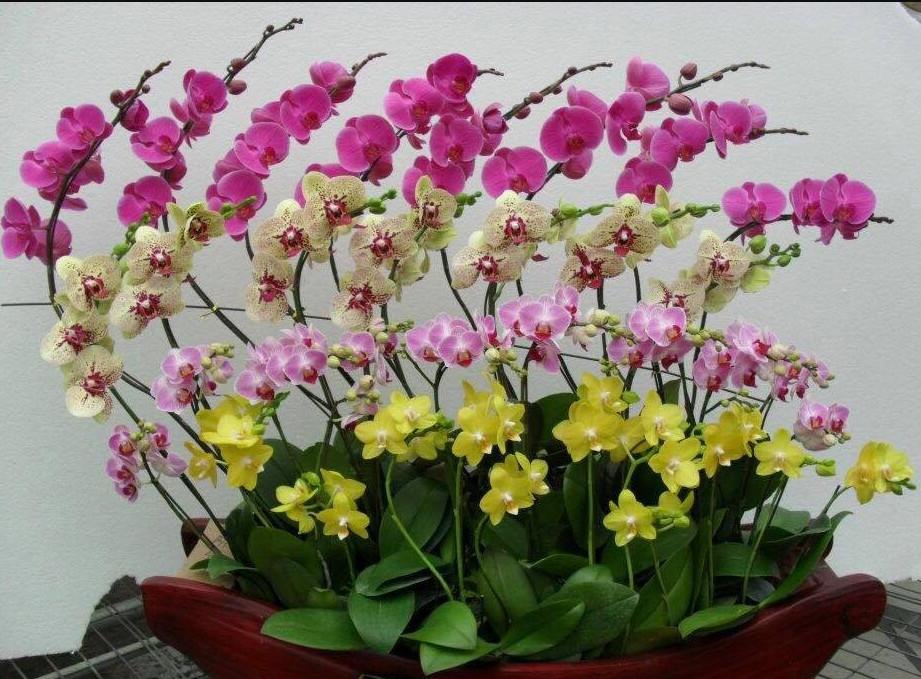 Đường cong tuyệt vời từ chậu, nhánh, hoa Lan hồ điệp tại cửa hàng Lan Hồ Điệp Tp.HCM